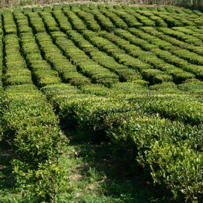 Apanha de Chá – Porto Formoso (São Miguel)